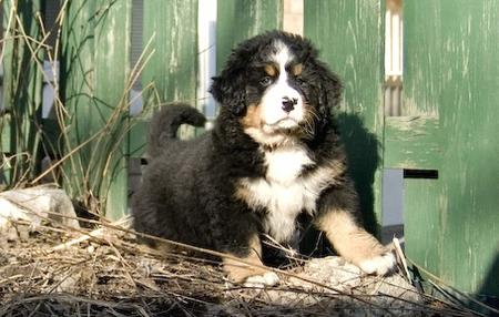 Sam the Bernese Mountain Dog Pictures 25037
